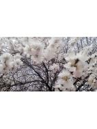 师联四月春,十里桃花香满枝